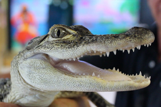 Alligator-And-Wildlife-Discovery-Center